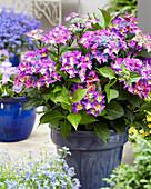 Hydrangea macrophylla 'Shining Angel' ® blue