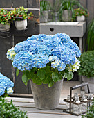 Hydrangea macrophylla 'Forever and Ever' blue