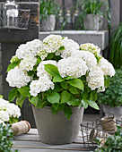 Hydrangea macrophylla 'Forever and Ever' white