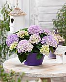 Hydrangea 'Tabletensia' ® purple