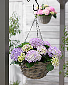 Hydrangea 'Tabletensia' ® purple