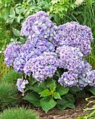 Hydrangea macrophylla 'Together Blue'
