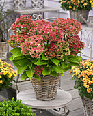 Hydrangea macrophylla 'Together'