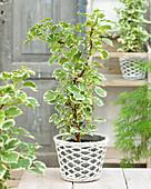 Hydrangea anomala petiolaris 'Silver Lining' ®