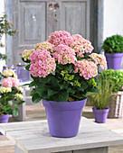 Hydrangea macrophylla 'Love' ®