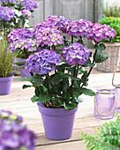 Hydrangea macrophylla Black Steel 'Blue Ball' ®