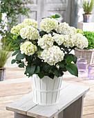 Hydrangea macrophylla Black Steel 'White Ball' ®