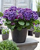 Hydrangea macrophylla 'Deep Purple' ®
