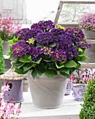 Hydrangea macrophylla 'Deep Purple Dance' ®