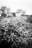 Basilikum auf dem Feld