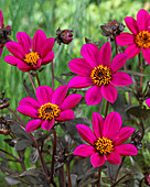 Dahlia 'Happy Days Purple' (HDPU165) ®