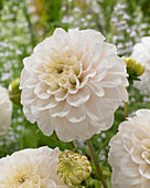 Dahlia 'White Renova'