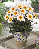 Dahlia 'Happy Days Cream White' (HDW79) ®