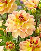 Dahlia 'Garden Time'
