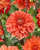 Orangefarbene Dahlie mit geflammten Blütenblättern