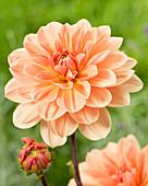 Dahlia 'Apricot Desire'