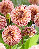 Dahlie mit geflammten Blütenblättern