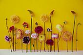 Blüten von Dahlien und Fackellilien vor gelbem Hintergrund