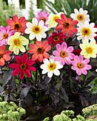Dahlia 'Happy Days' ®, farblich gemischt