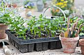 Anzuchtplatte mit Sellerie - Jungpflanzen