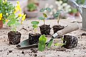 Jungpflanzen von Kapuzinerkresse mit Pflanzschaufel