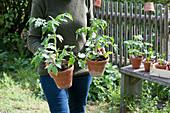 Frau bringt Tomatenpflanzen in Tontöpfen