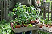 Frau trägt Kiste mit Tomatenpflanzen im Tontopf