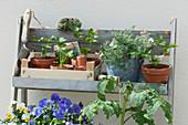 Schrägregal mit Sellerie Jungpflanzen, Tomatenpflanze, Hornveilchen und Tripmadam