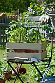 Töpfe mit Tomaten Jungpflanzen in Obststiege