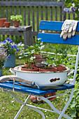 Schüssel mit Sellerie - Jungpflanzen auf Stuhl im Garten