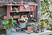 Arrangement mit Zucchinipflanze, Zauberglöckchen 'White' 'Magenta' 'Golden Yellow', Hauswurz und Studentenblume