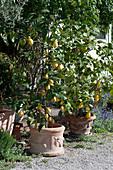 Zitronenbäumchen in Terracottatöpfen auf Kiesterrasse