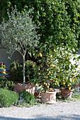 Olivenbaum und Zitronenbäumchen in Terracottatöpfen an der Terrasse