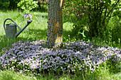 Blühender Kaskaden-Thymian bedeckt die Baumscheibe