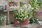 Jardiniere mit weißem Lavendel und Elfenspiegel 'Citrine'