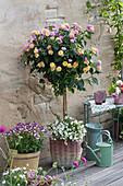 Wandelröschen 'Pink Yellow' mit Schneeflockenblume unterpflanzt im Korb und Elfenspiegel 'Vanilla Berry'
