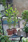 Duftwicken - Jungpflanzen in Tontöpfen
