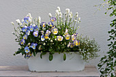 Hornveilchen 'Blue Moon' 'Etain', weißer Lavendel und Steinkraut in Blech-Jardiniere