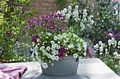 Zinkschale mit Zauberglöckchen, Elfenspiegel Fairy Kisses 'Boysenberry' und weißem Lavendel
