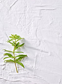 Lemon verbena on a white background