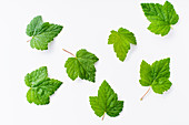 Blackcurrant leaves isolated on white background