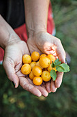 Hands holding fresh yellow plums