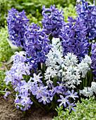 Frühlings-Mix aus Hyacinthus, Puschkinia und Scilla