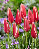 Tulipa 'Taco'