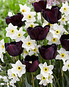 Tulipa 'Paul Scherer', Narcissus 'Lieke'