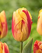 Tulipa 'Firestorm'