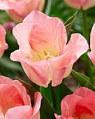 Tulipa 'Pink Dream'