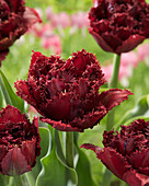 Tulipa 'Aiaccio'