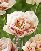 Tulipa 'Flaming Margarita'