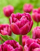 Tulipa 'Respectable'